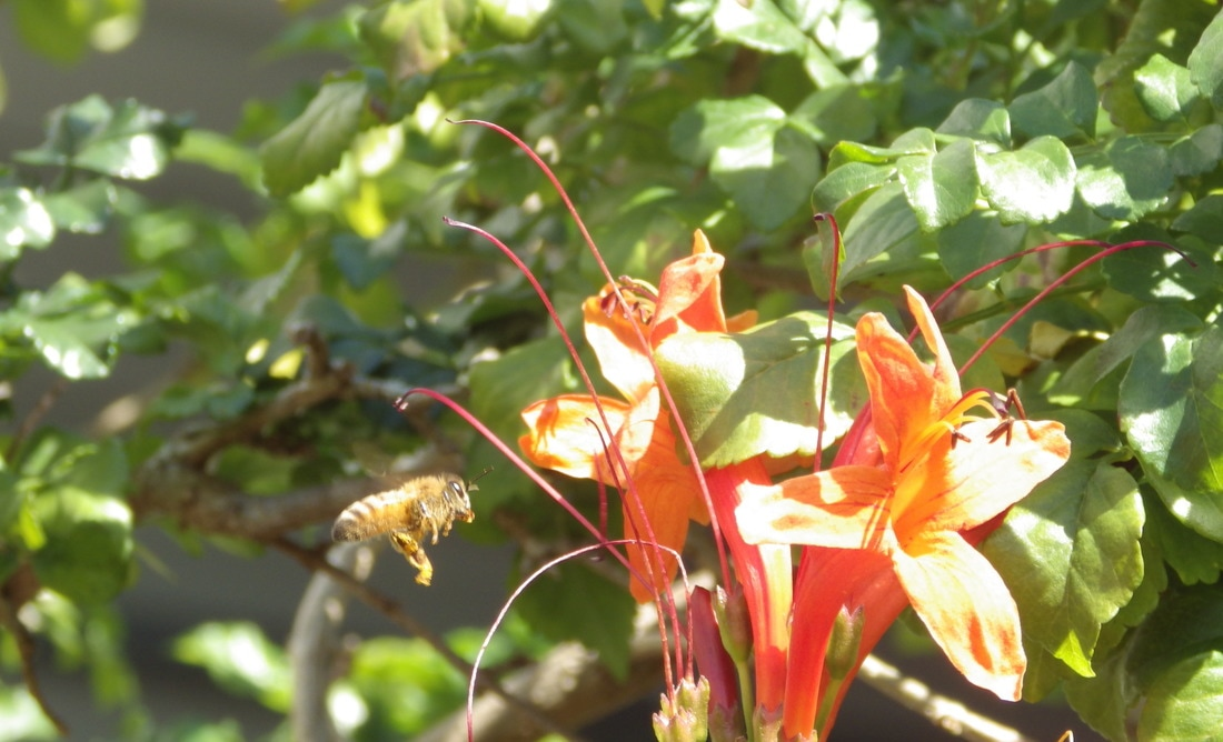 Honey Bee and Flame Vine