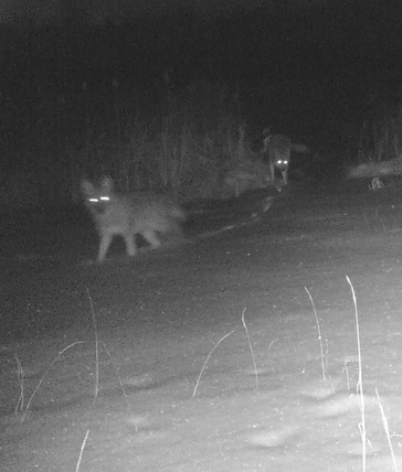Coyotes being coyotes